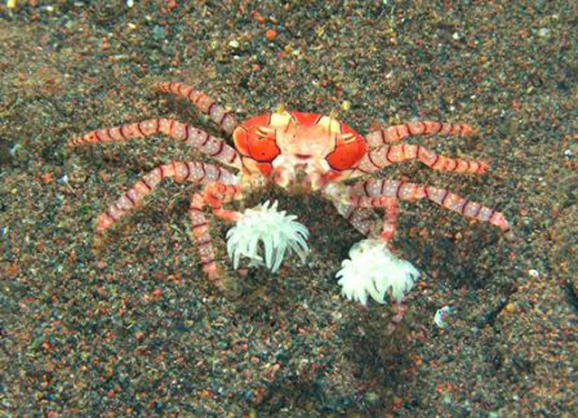 Crabe ewe - Page 2 1211876454-Crabe-pom-pom